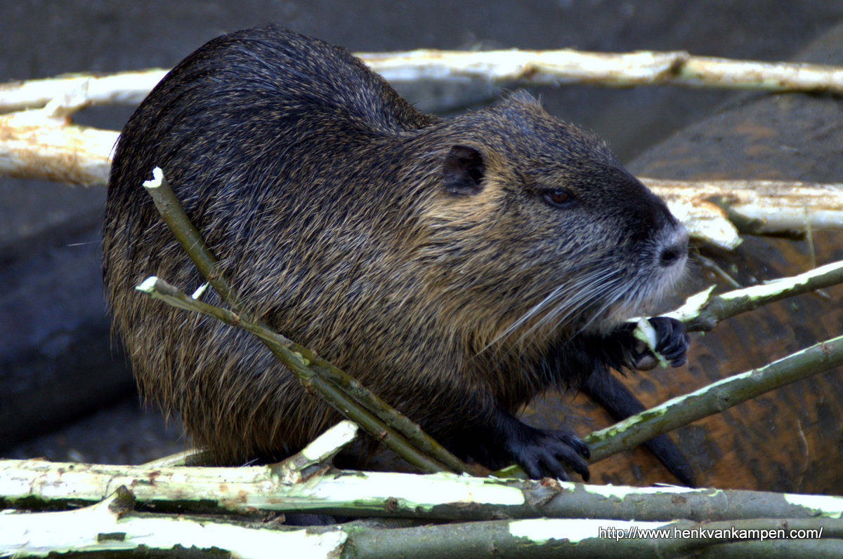 Coypu (or River rat)