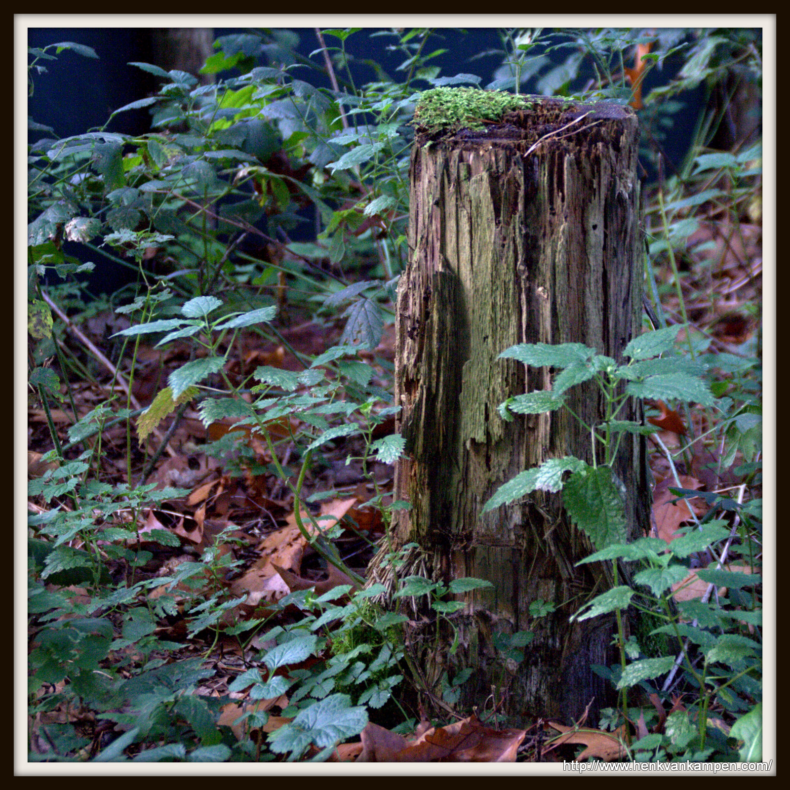 Mossy treetrunk