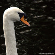 Wordless Wednesday: Swan