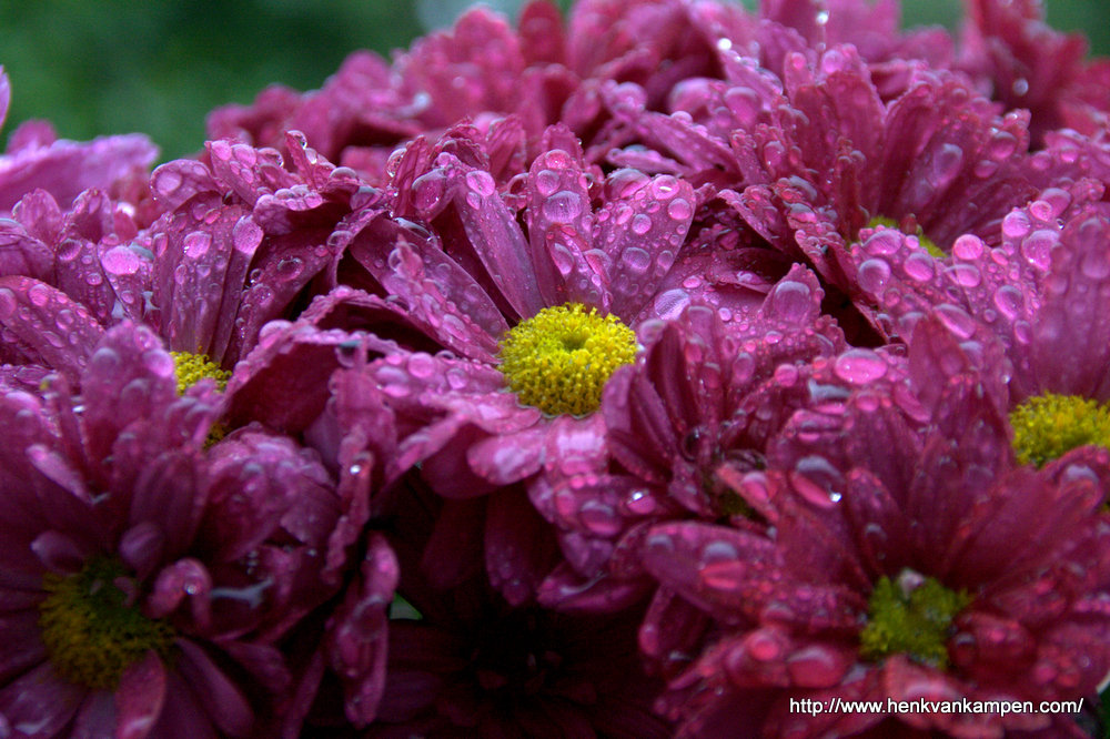 Chrysanths after a shower
