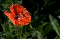 Wordless Wednesday: Poppy