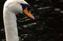 Wordless Wednesday: Swan